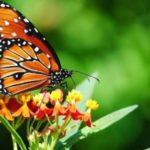 Kelebeğin Kaderi